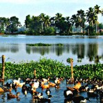 Duck Farming at Kuttanad