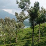 Devikualm Tea Estates