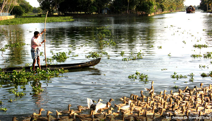 Kerala Duck Farming